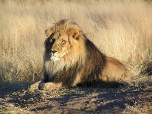 lion-namibie