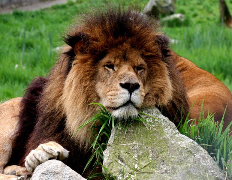 vancouver_zoo-lion